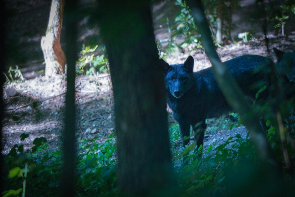 loup noir derrière l'arbre